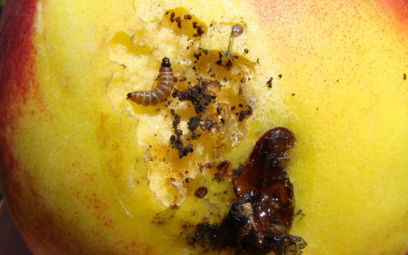 ZAŠTITA BRESKVE I NEKTARINE (pepelnica, uši, breskvin savijač i moljac)
