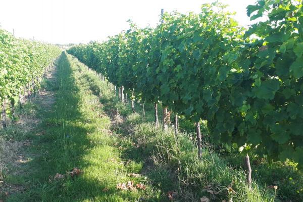 Zaštita vinograda
