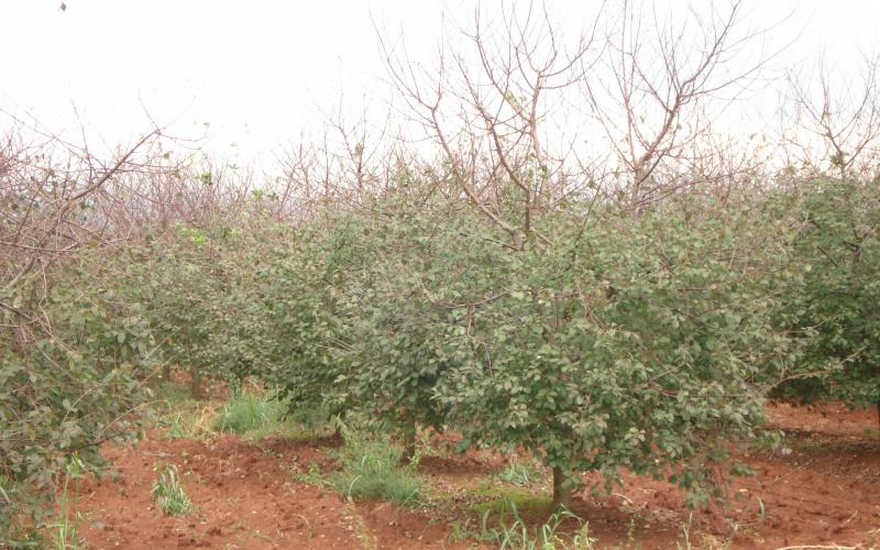 Zaštita trešnje i višnje maraske