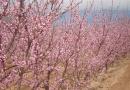 Zaštita breskve i nektarine