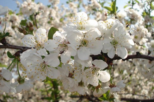 Zaštita višnje maraske i trešnje protiv paleži cvijeta