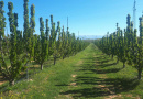 Zaštita trešnje i višnje maraske od bolesti i lisnih ušiju