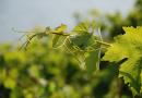 Preporuka vinogradarima HNŽ