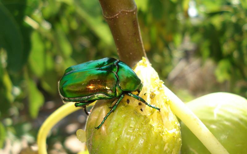 Zaštita plodova grožđa i smokve od zlatnih mara