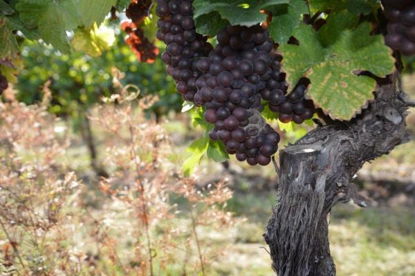 Zaštita vinograda od octene mušice i sive plijesni