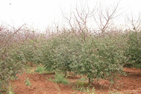 Zaštita trešnje, višnje maraske breskve i nektarine od bolesti