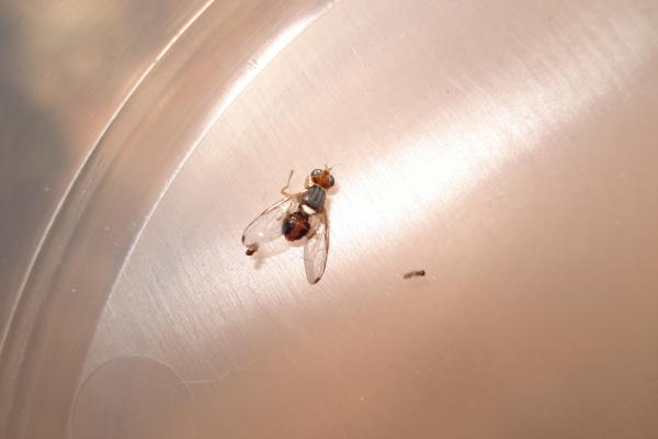 Zaštita masline od maslinove muhe